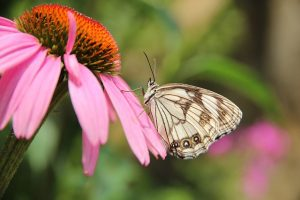 Echinacea – o plantă miracol!